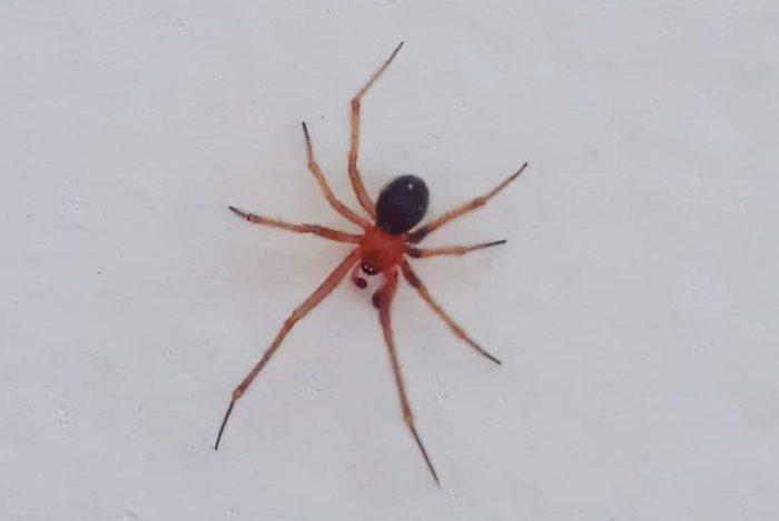 Aranhas Nesticodes rufipes